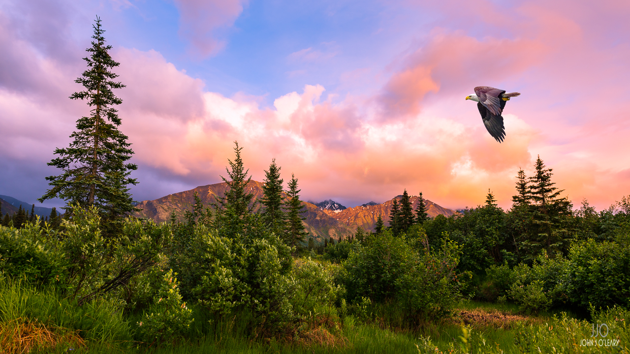 Eagle soaring over a wooded hillside in Alaska at sunset.