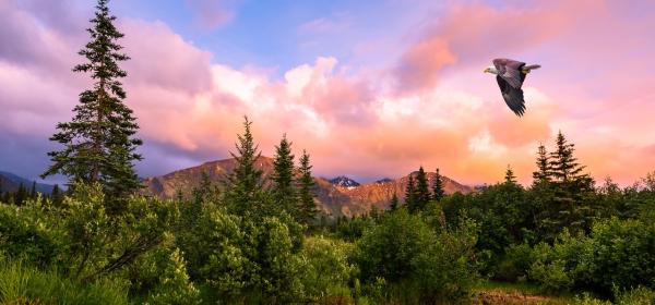 Eagle soaring over a wooded hillside in Alaska at sunset.