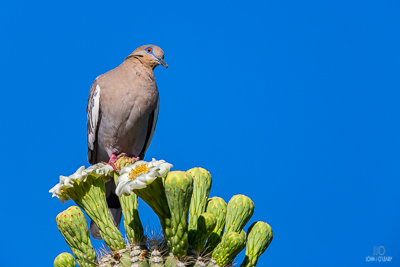 A Mourning Dove rests on the flowers of a Saguaro Cactus.