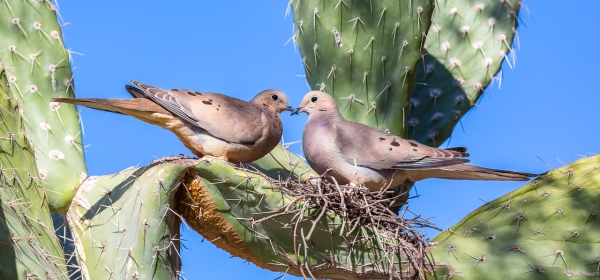 A pair of Mourning Doves nest in the boughs of a large cactus.