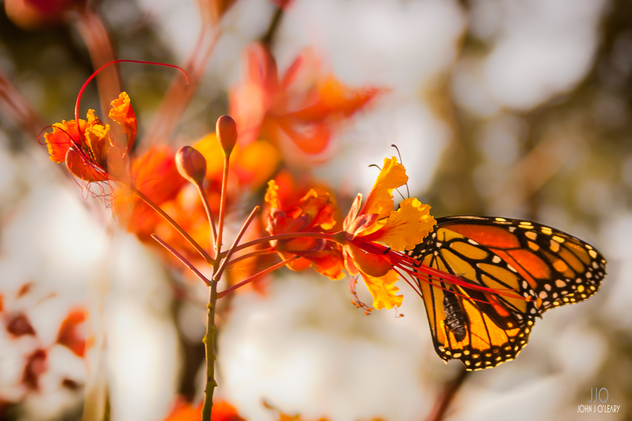 Monarch Butterfly with torn wing on Mexican Bird of Paradise flower