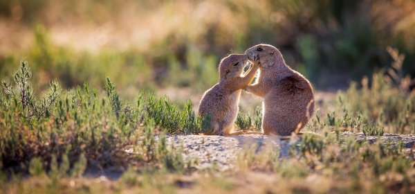Prairie Dog pup kissing its mother near Colorado Springs, Colorado