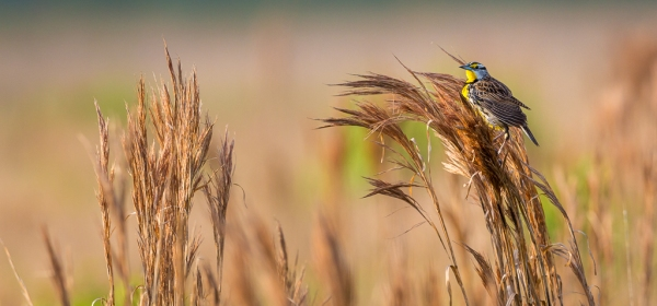 Meadowlark clinging to tall grass
