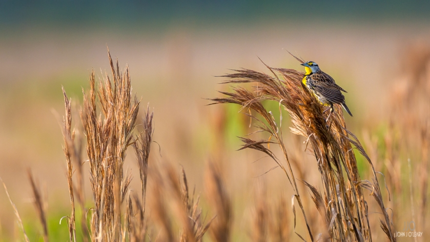 Meadowlark clinging to tall grass